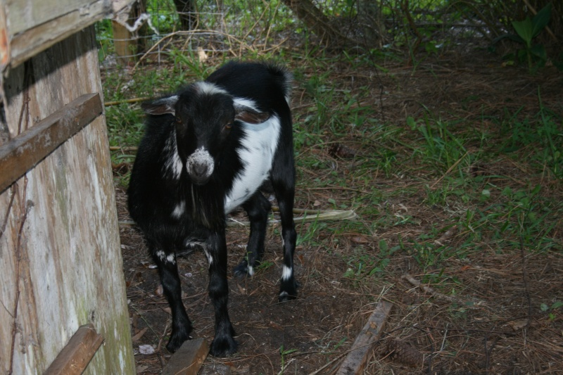 More goat pickies 05610