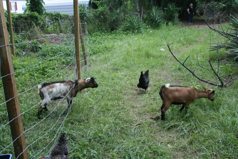 More goat pickies 06113