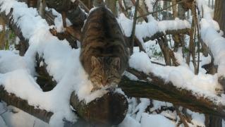 Sous la neige 2010/2011 au parc des félins  P1030810