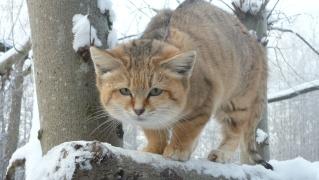 Sous la neige 2010/2011 au parc des félins  P1030811