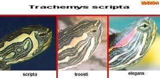 Quelle espèce de tortue Images11