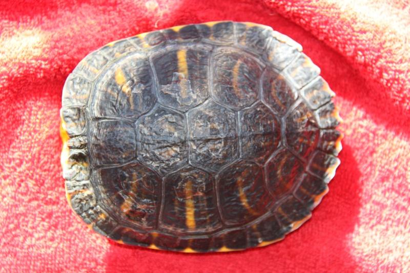 Quelle espèce de tortue Img_8514