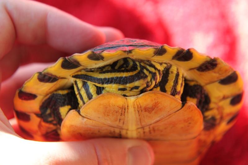 Quelle espèce de tortue Img_8516