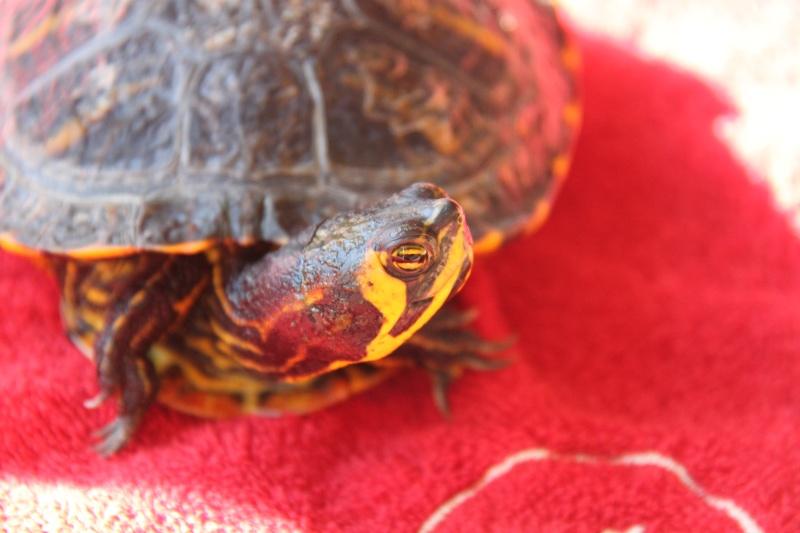 Quelle espèce de tortue Img_8517