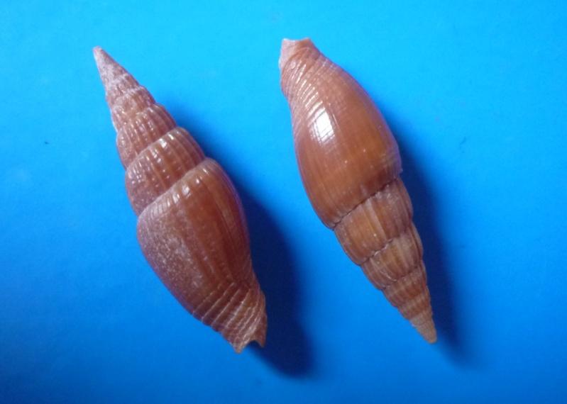 Vexillum acuminatum - (Gmelin, 1791) Acumin10