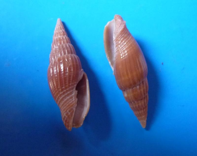 Vexillum acuminatum - (Gmelin, 1791) Acumin11