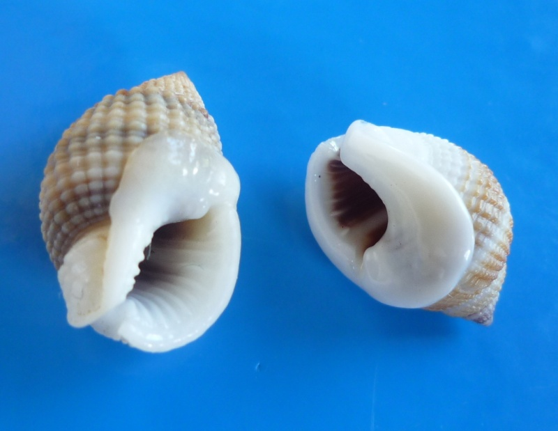 Nassarius gemmuliferus - (A. Adams, 1852) Albasc10