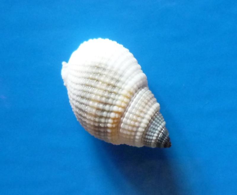 Nassarius albascens - (Dunker, 1846) Albasc13