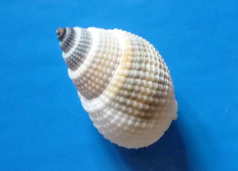 Nassarius albascens - (Dunker, 1846) Albasc15