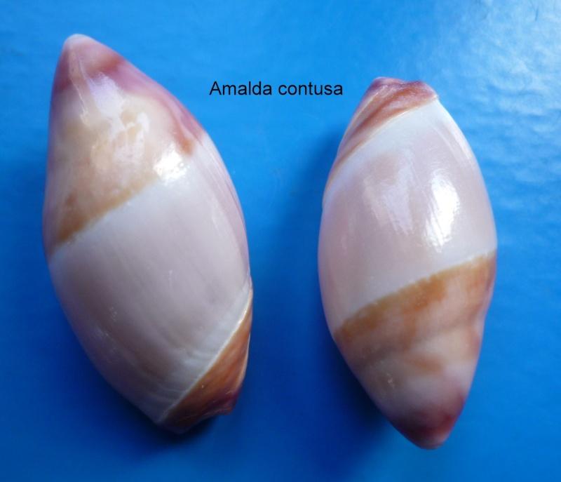 Amalda contusa - (Reeve, 1864) Amalda24