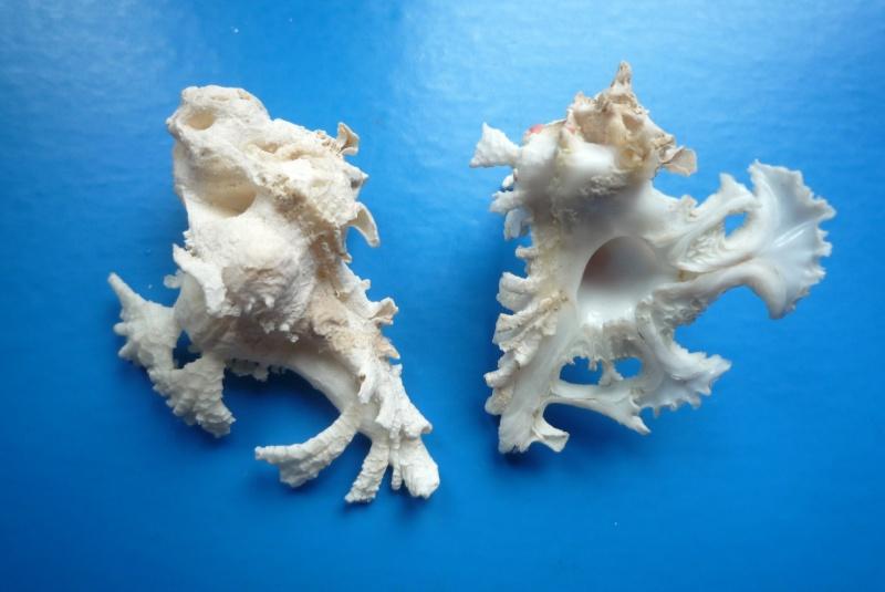 Homalocantha anatomica - (Perry, 1811) Anatom12