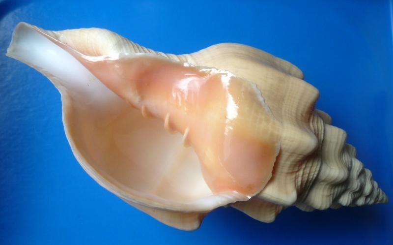 Turbinella angulata - (Lightfoot, 1786) Angula12