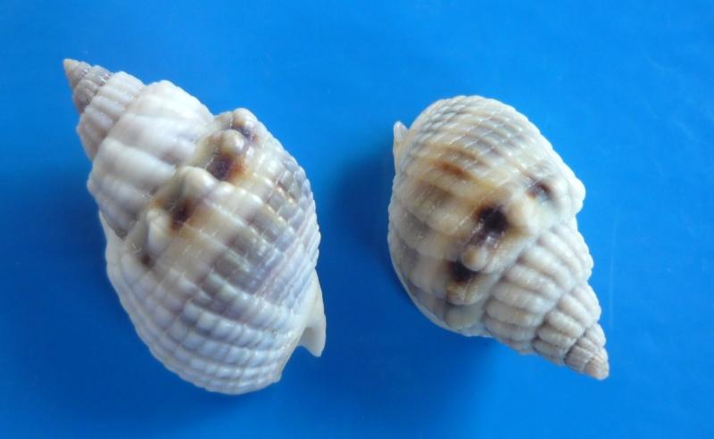 Nassarius arcularia plicatus - (Röding, 1798) Articu10