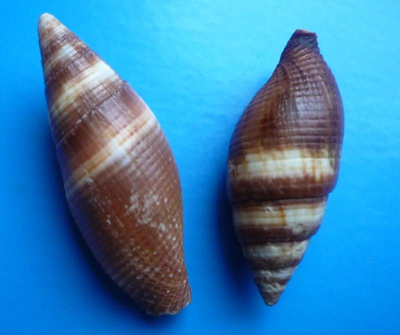 Strigatella aurantia - (Gmelin, 1791)  Aurant10