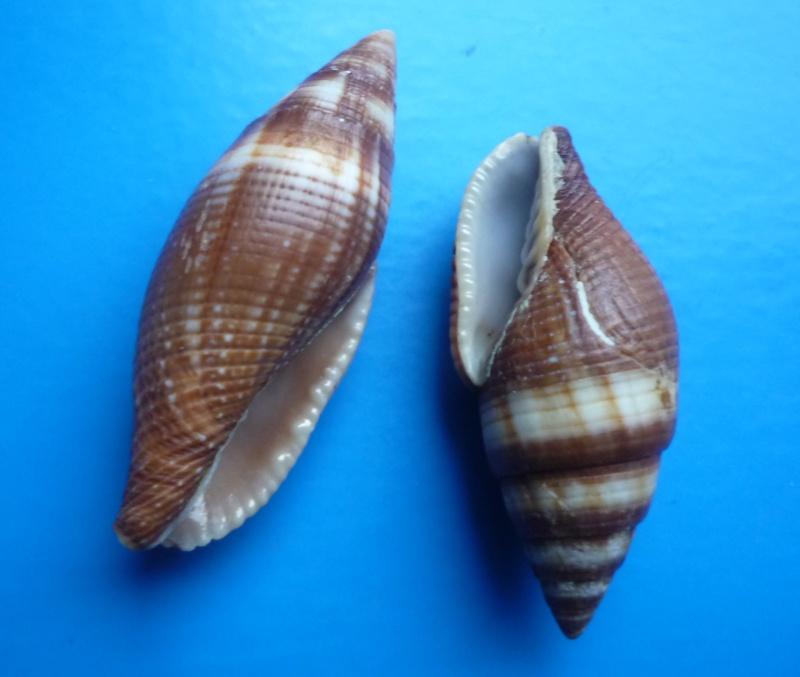 Strigatella aurantia - (Gmelin, 1791)  Aurant11