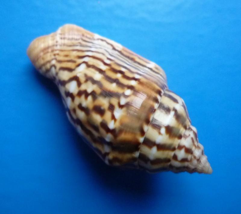 Canarium mutabile zebriolatus - (Adams & Leloup, 1938) Canari26