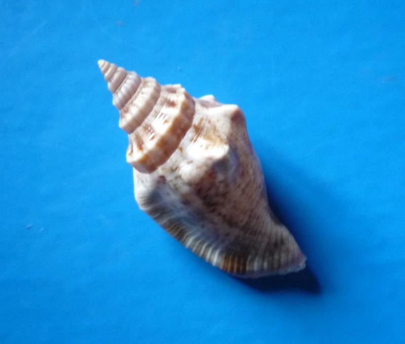 Canarium olydium - (Duclos, 1844)  Canari32