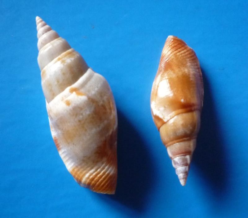 Strombidae Neostrombus fusiformis - (G. B. Sowerby II, 1842) Canari44