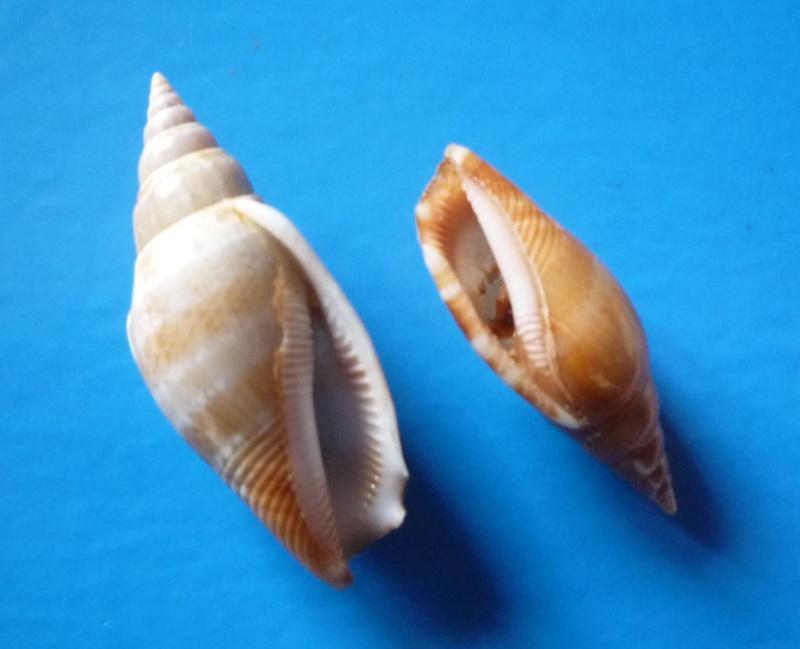 Strombidae Neostrombus fusiformis - (G. B. Sowerby II, 1842) Canari45
