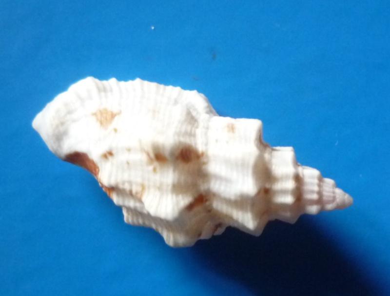 Canarium rugosum - (G.B. Sowerby I, 1825) Canari55