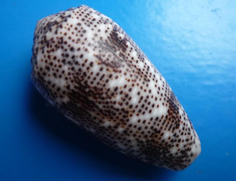Conus (Pionoconus) stercusmuscarum   Linnaeus, 1758 Canus171
