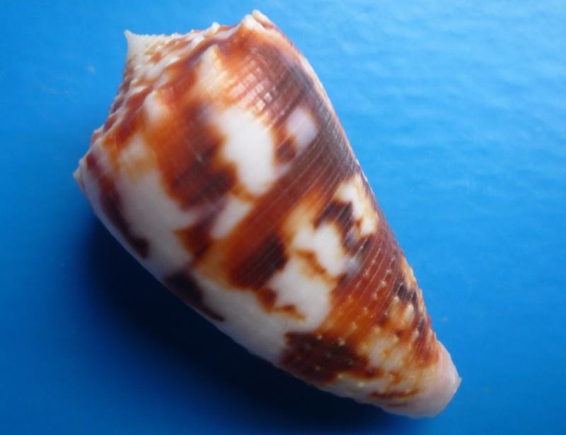 Conus (Phasmoconus) stainforthii (Reeve, 1843)voir Conus (Ph) moluccensis Canus221