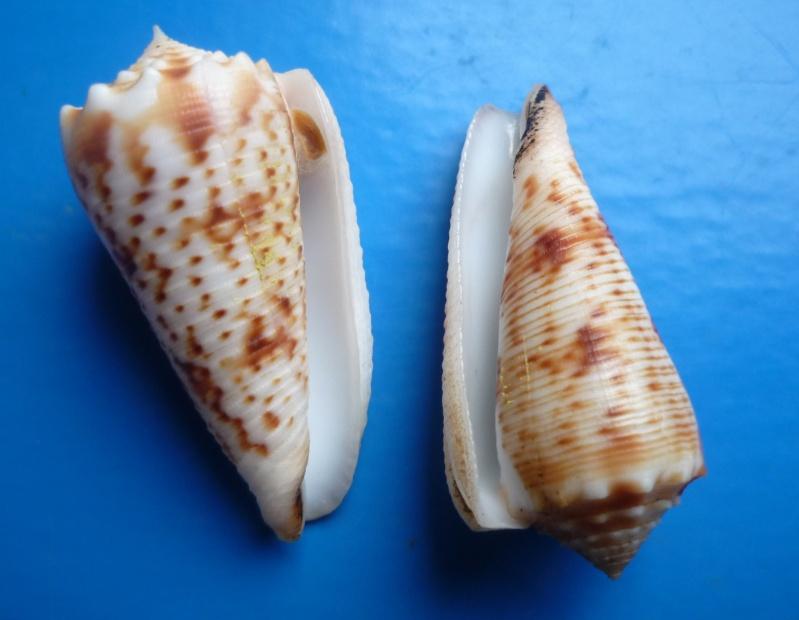 Conus (Phasmoconus) moluccensis   Küster, 1838 Canus228