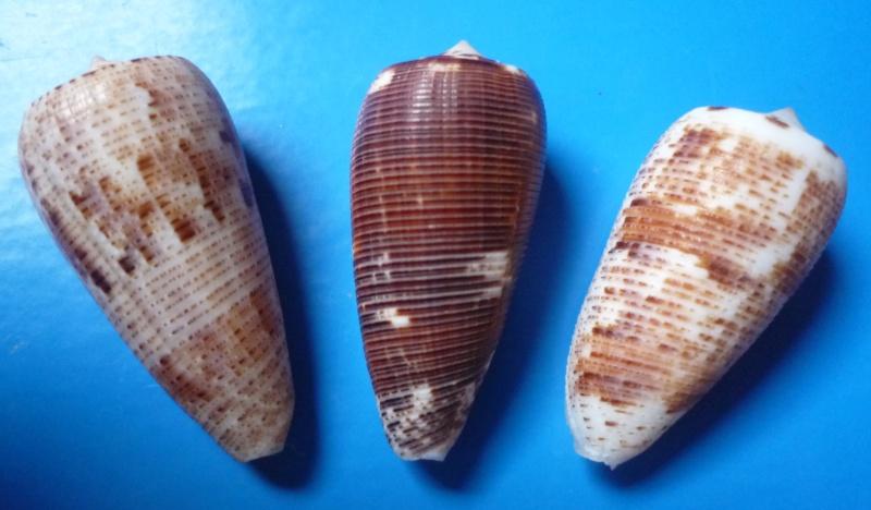 Conus (Phasmoconus) nimbosus   Hwass in Bruguière, 1792  Canus260