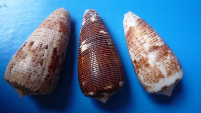 Conus (Phasmoconus) nimbosus   Hwass in Bruguière, 1792  Canus261