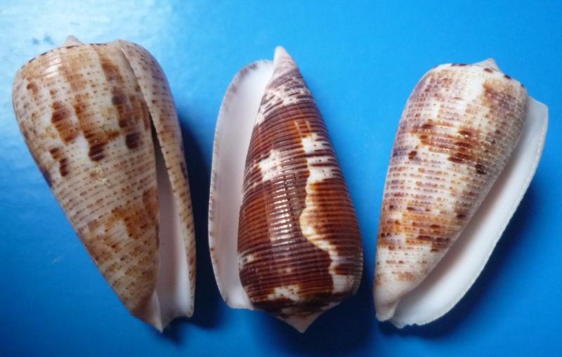 Conus (Phasmoconus) nimbosus   Hwass in Bruguière, 1792  Canus262