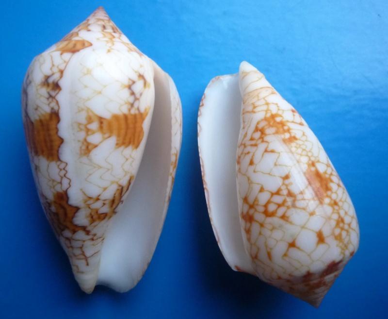 Conus (Cylinder) archiepiscopus sirventi   Fenaux 1943 Canus289