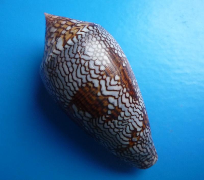 Conus (Cylinder) archiepiscopus euetrios  Sowerby III, 1882 Canus296