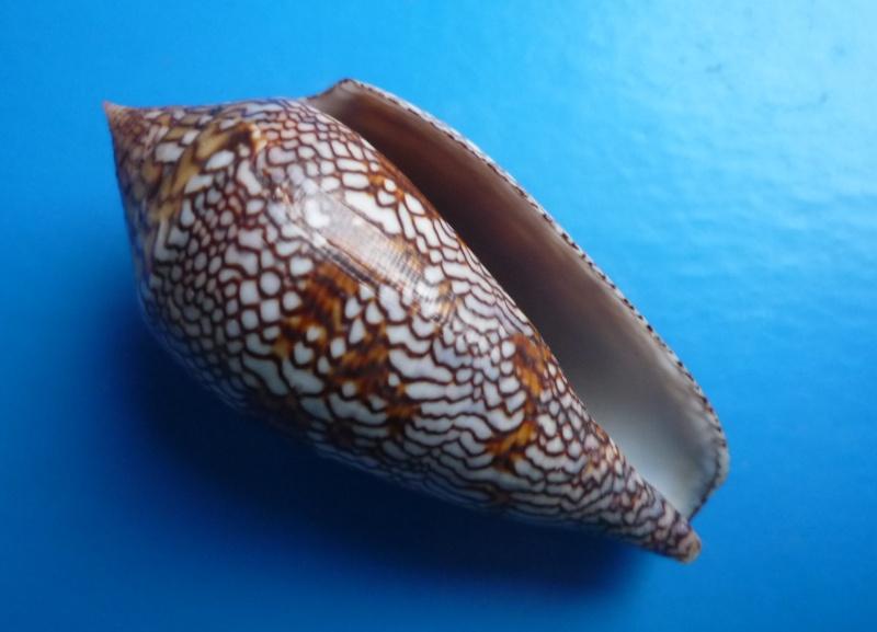 Conus (Cylinder) archiepiscopus euetrios  Sowerby III, 1882 Canus298