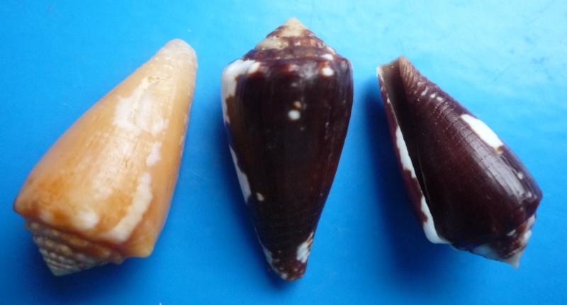 Conus (Phasmoconus) exiguus   Lamarck, 1810  Canus336