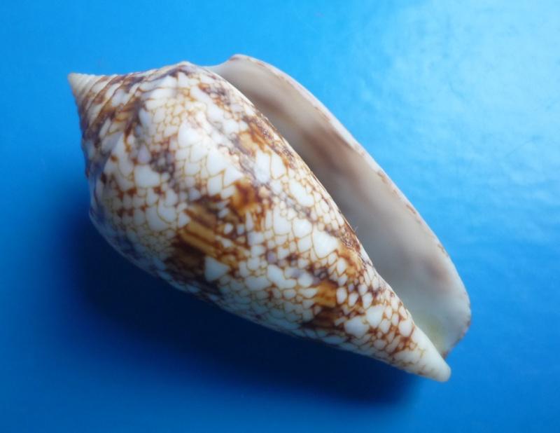 Conus (Cylinder) victoriae   Reeve, 1843 Canus340