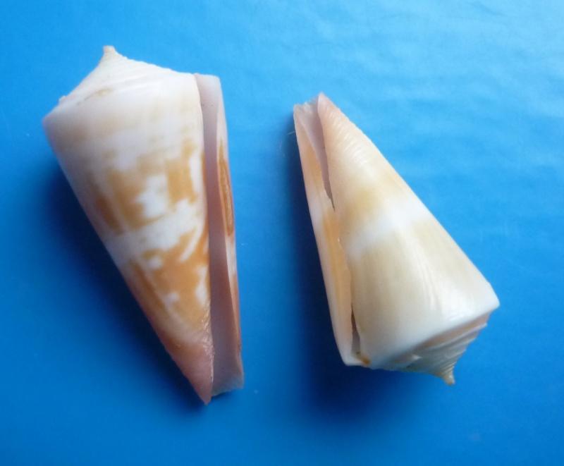 Conidae Conus (Attenuiconus) attenuatus - (Reeve, 1844) Canus459