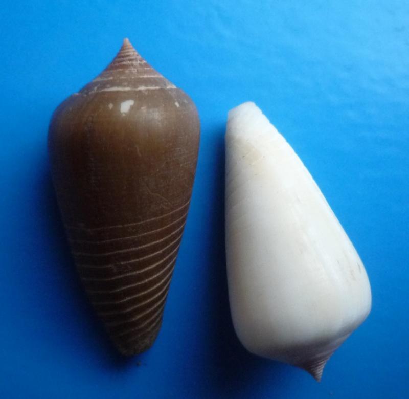 Conus (Phasmoconus) parius  Reeve, 1844 Canus487