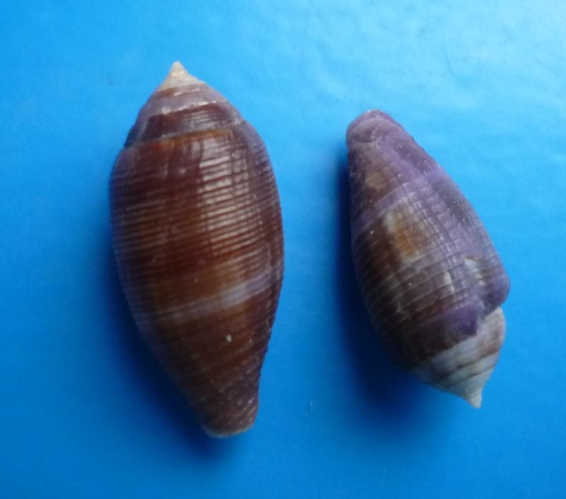 Conus (Leporiconus) glans  Hwass in Bruguière, 1792 Canus498