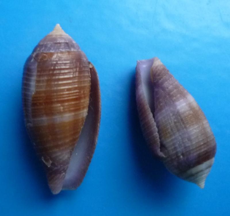 Conus (Leporiconus) glans  Hwass in Bruguière, 1792 Canus499