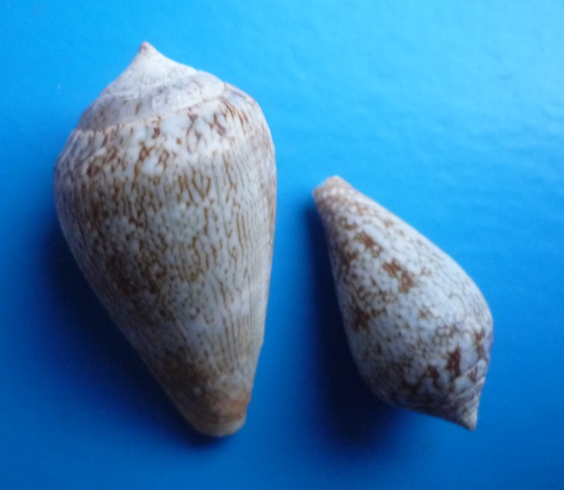 Conus (Lautoconus) hybridus - Kiener, 1847 Canus567