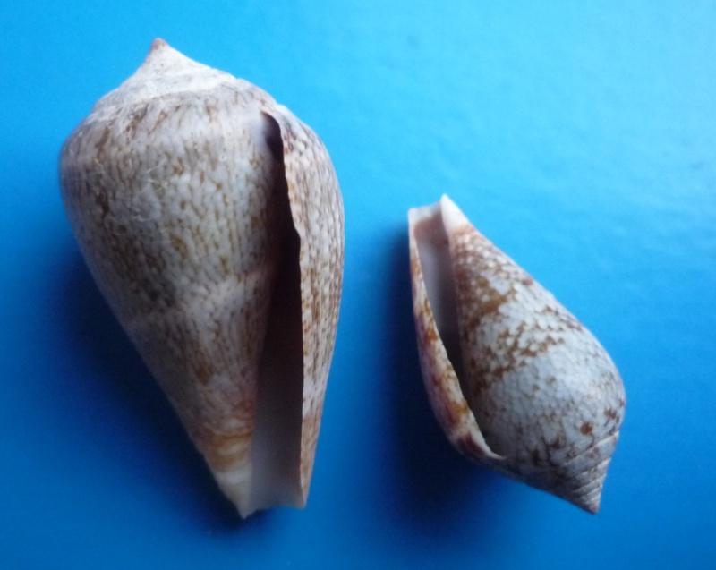 Conus (Lautoconus) hybridus - Kiener, 1847 Canus568