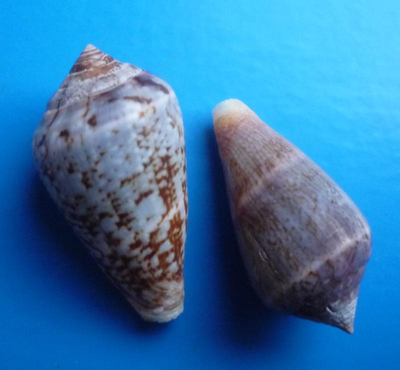 Conus (Lautoconus) hybridus - Kiener, 1847 Canus569