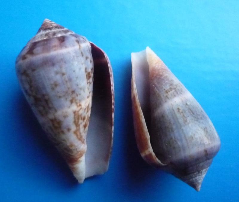 Conus (Lautoconus) hybridus - Kiener, 1847 Canus570