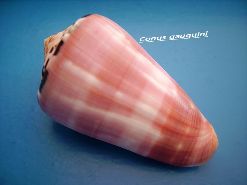 Conus (Pionoconus) gauguini  Richard & Salvat, 1973 - Page 4 Canus_32