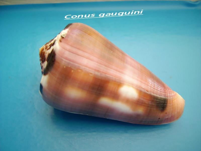 Conus (Pionoconus) gauguini  Richard & Salvat, 1973 - Page 4 Canus_33