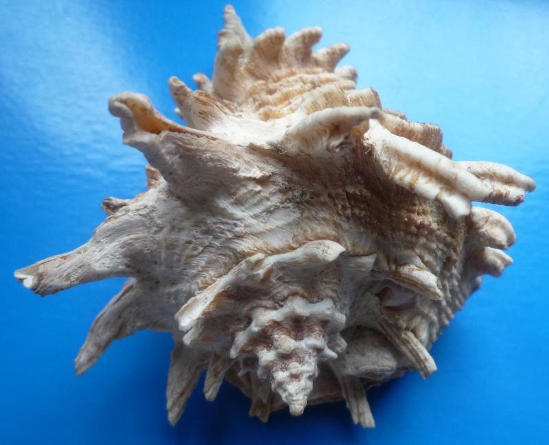 Vasum cassiforme - (Kiener, 1840) Casifo14
