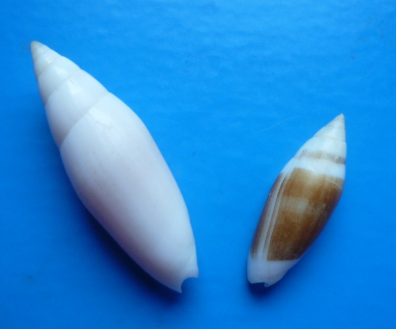 Swainsonia casta - (Gmelin, 1791) Casta_10
