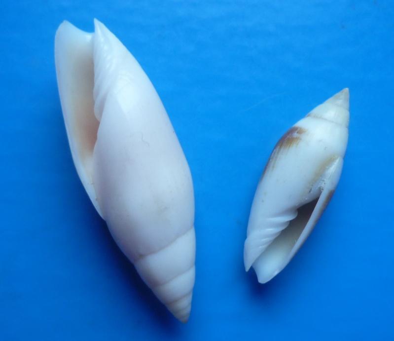 Swainsonia casta - (Gmelin, 1791) Casta_11
