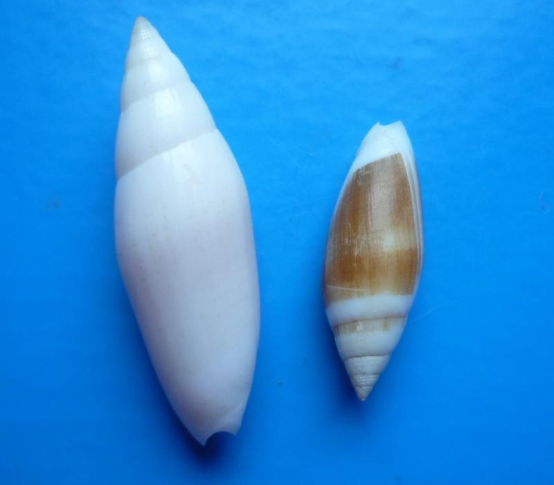 Swainsonia casta - (Gmelin, 1791) Casta_12