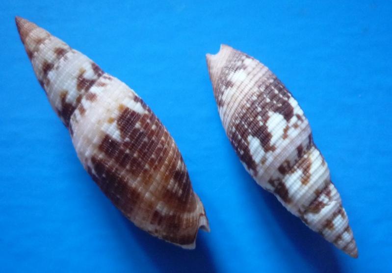 Neocancilla maculosa - (Gmelin, 1791) Clatru10